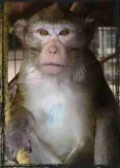 Primarily Primates Macaque