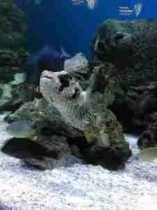 Pufferfish. (Trish Conner photo)