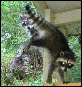 Raccoons invade our house