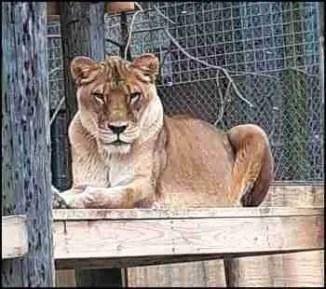 Rafiki the lion