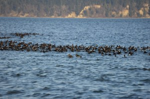 Raft of surf scoters and other migratory waterfowl at Hidden Beach,  Washington.  (Beth Clifton photo)