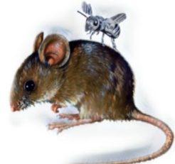 Rat and gnat