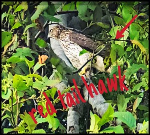 Red tail hawk assists with dog rescue