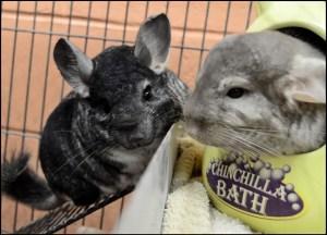 Chinchillas in a cage