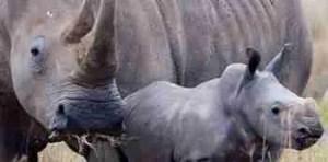 Rhino mother & baby. (HSUS/HSI photo)
