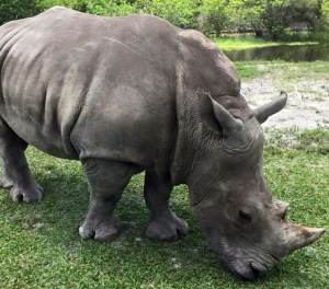 Asian rhino. (Trish Conner photo)