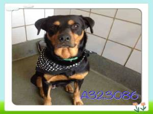 Rottweiler up for adoption from San Antonio Animal Care Services.