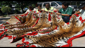 Tiger pelts confiscated in Malaysia, apparently en route to China via the Laotian trafficking conduits. (Big Cat Rescue photo)