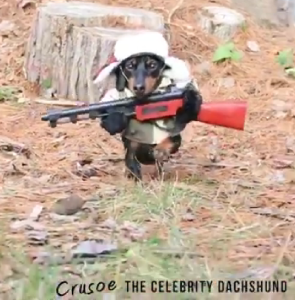 Crusoe the Celebrity Dachshund is actually neither a Jihadi nor a militia member, but he is a hunter.