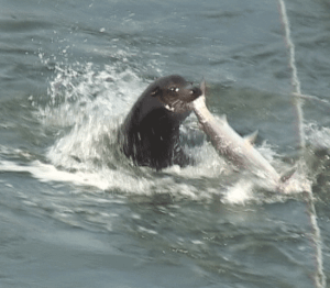 California sea lion catches a fish at the Bonneville dam.  (Oregon Department of Wildlife Conservation photo)