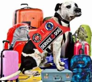 Service dog pit bull sitting on luggage