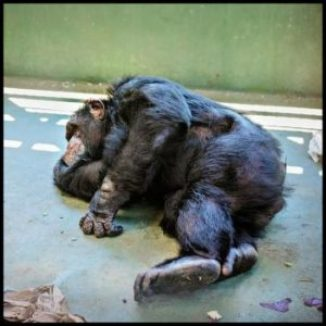 Sleeping chimpanzee