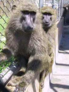 Baboons at the Southwest National Primate Research Center. (SNPRC photo)