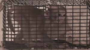 Baby macaque in squeeze cage. (From NIH video obtained by PETA through the Freedom of Information Act.)
