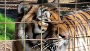 Tiger glares right.