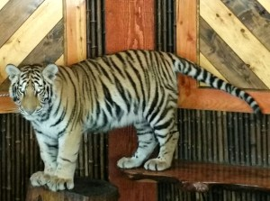 Captive tiger. (Beth Clifton photo)
