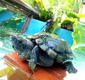 Tortoise at ACRES sanctuary. (ACRES photo)
