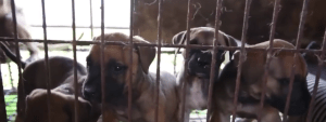 Tosa puppies. (From HSI video)