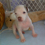 Why pit bulls will break your heart
