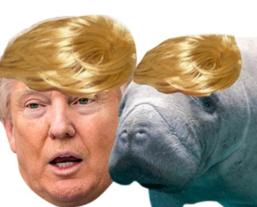 Trump and manatee
