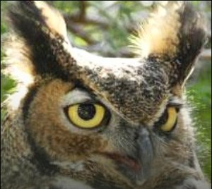 Tumbleweed the great horned owl