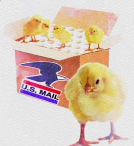 US mail and chicks