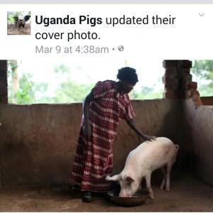 Uganda Pigs 2