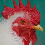 Courting hen & egg producers leads animal charities into deep @#$%