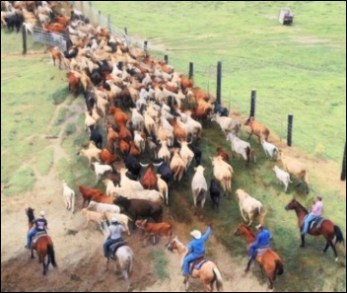 VOA News cattle round up