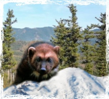Wolverine in the mountains