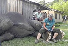 Carol Buckley trimming elephant's foot in Nepal.  (Wikipedia photo)