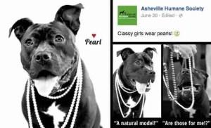 anthropomorphic-pit-bull-campaign-asheville-humane-june-2015