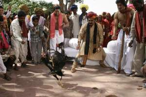 "Cockfighting scene from Bollywood film ""Rockin' Meera"" (2009)."