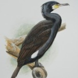 cormorantbookgreatcormorantadultbreeding-150x150