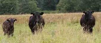 U.S. Fish & Wildlife Service photo of cattle on the Julia Butler Hansen National Wildlife Refuge.