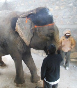 PETA/India photo of elephant in the Jaipur Elephant Village.