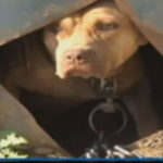When are alleged fighting dogs not pit bulls?