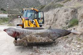 Stranded Cuvier's beaked whale. (NRDC photo)