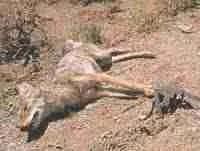 Coyote in leghold trap.  (Animal Welfare Institute photo)