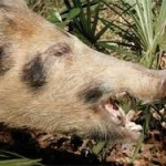 Ohio truck crash shows why feral pigs are everywhere