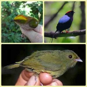 Three mannakin species. (Wikipedia photos)