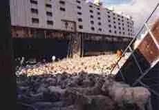 Live transport loading area.  (Animal Welfare Institute)