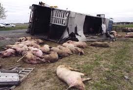 Dead pigs crash