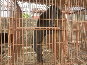 """A skeletal bear at Cau Trang Bear Farm,""  says the Animals Asia Foundation caption."