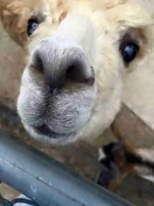 Llama offers wisdom.  (Greg Robbins photo)