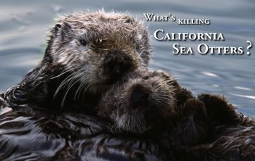 (Seaotterresearch.org photo)