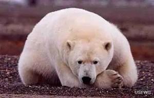 Polar bear. (U.S. Fish & Wildlife Service photo.)