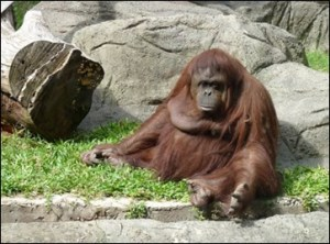 Sandra the orangutan won a writ of habeas corpus.
