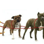 Pit bull lobby exposed in Quebec as never before