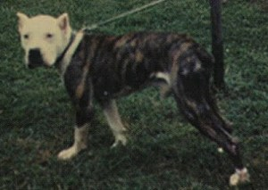 """Mac the Masher, """"Alan Scott's foundation dog for his performance line of American bulldogs circa 1960."""" (Craven Desires.)"""
